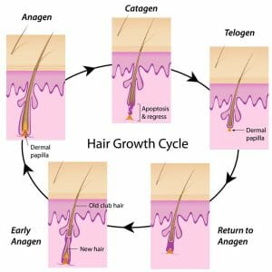 normal hair growth cycle